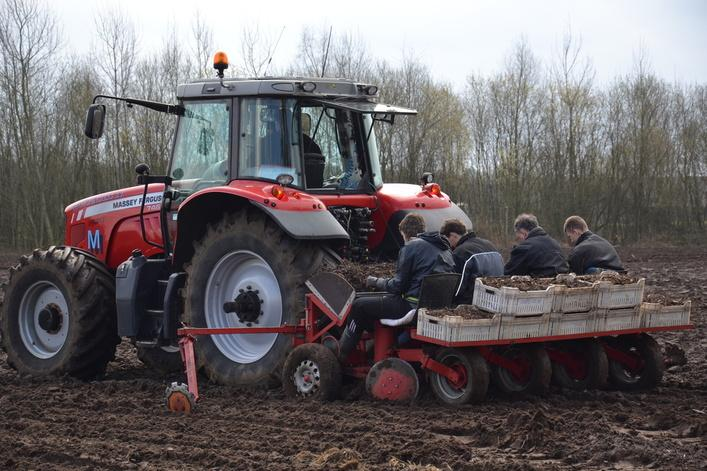 Planting miscanthus